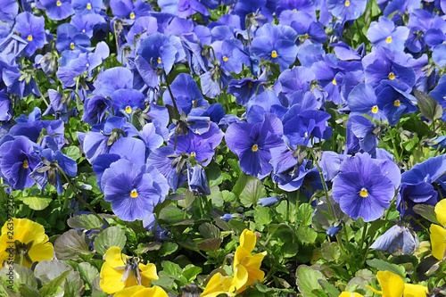 Fotografie, Obraz  Viola flowers
