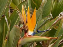 Oiseau Du Paradis 'Strelitzia ...