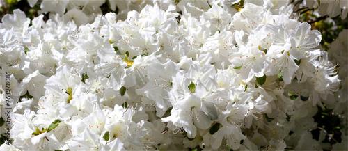 Blooming white spring azaleas.
