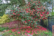 Red Camelia Bush Blossoms 2