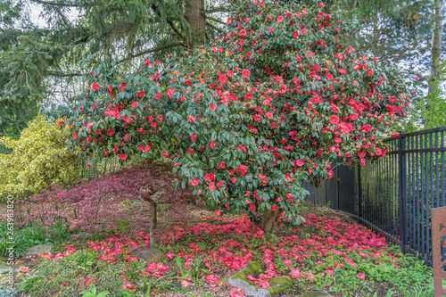 Slika na platnu Red Camelia Bush Blossoms 2
