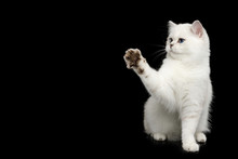 British White Cat With Blue Eyes Sitting And Raising Paw On Isolated Black Background, Side View