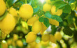 Yellow lemons on lemon tree, bright sun shines through green leaves
