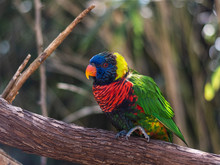 Lorikeet Posing For His Picture