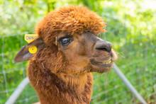 Brown Baby Cute Alpaca Head