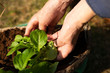 Gardener woman hands planting flowers in the soil