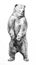 Bear Illustration Of Dangerous Animal Standing On Hind Legs, Hand Drawn Grizzy Bear Pencil Sketch, Wild Animal