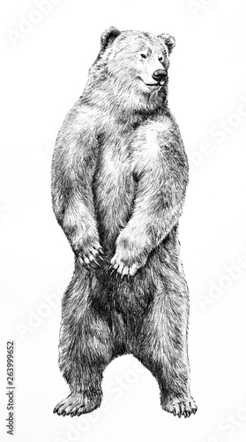 Fototapeta  Bear illustration of dangerous animal standing on hind legs, hand drawn grizzy b