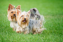 """Two Dogs Breed """"Yorkshire Terrier"""" On A Walk In The Park On A Summer Day"""