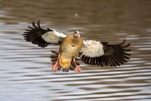 Single Egyptian Goose Landing ...