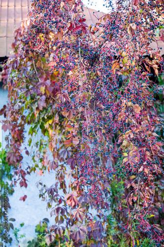 Beautiful autumn background of plant Virginia creeper.