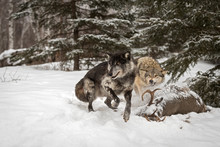 Black Phase Grey Wolf (Canis Lupus) Jumps Away From Carcass Winter