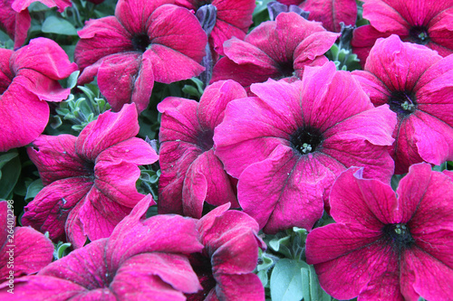 Fotografia Petunia lilac flowers close-up