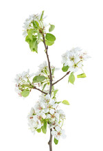 Branch Of Pear Flower Isolated...