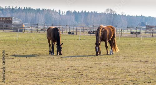 Valokuvatapetti Two horses graze in the meadow. Twain beautiful horses.