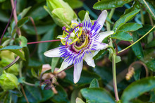 Passion Flower Passiflora Caerulea Passionflower Against Green Garden Background
