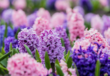 Large Flower Bed With Multi-colored Hyacinths, Traditional Easter Flowers, Flower Background, Easter Background