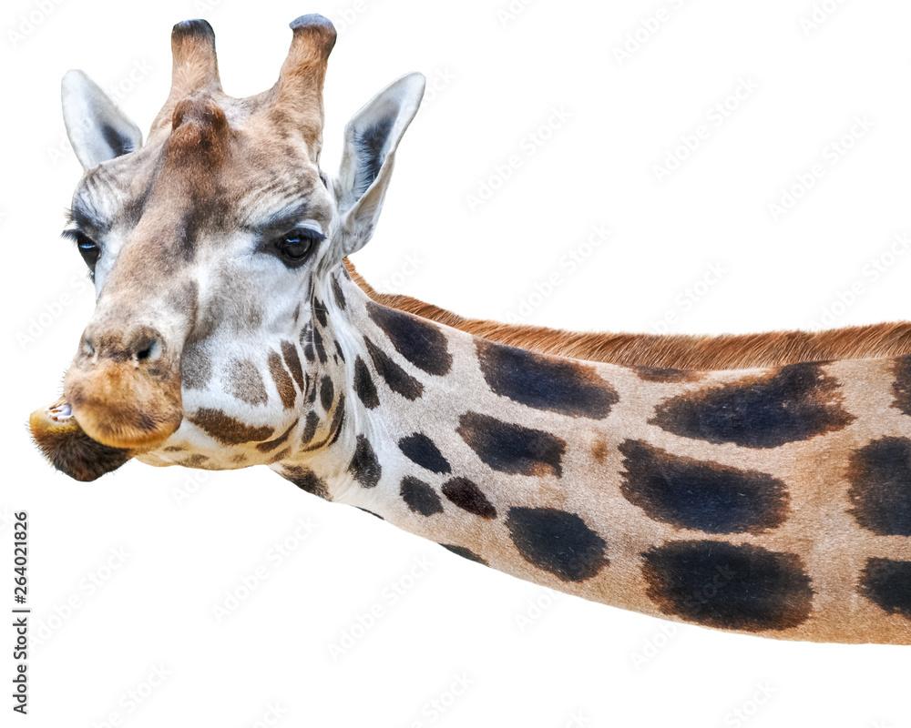 giraffen bilder lustig  malvorlagen gratis