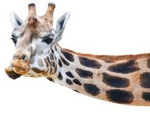 Lustige Giraffe Guckt Quer Ins...