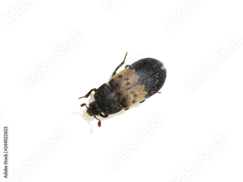 Fotografía The larder beetle Dermestes lardarius isolated on white background