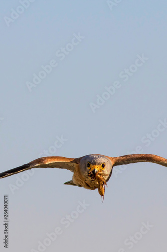 Poster Aigle Bird of prey. Flying falcon with its hunt. Nature background. Bird: Lesser Kestrel. Falco naumanni.