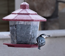 A White Breasted Nuthatch At A...