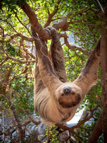 Photo A sloth hanging upside down in the branches of a tree