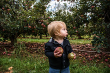 Toddler In Orchard Holding Two...