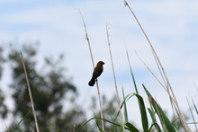 Thickbilled Weaver Bird On Ree...