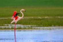 Colorful Bird Flamingo. Natura...