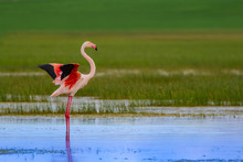 Colorful Bird Flamingo. Natural Background. Bird: Greater Flamingo. Phoenicopterus Roseus.