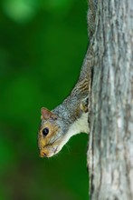 A Squirrel Climbing A Tree Trunk With Green Bokeh Background