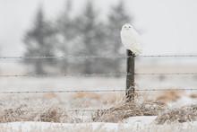 Snowy Owl In The Winter