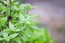 Fresh Basil Plant Tree On Nature Background / Asian Thai Green Basil Leaf