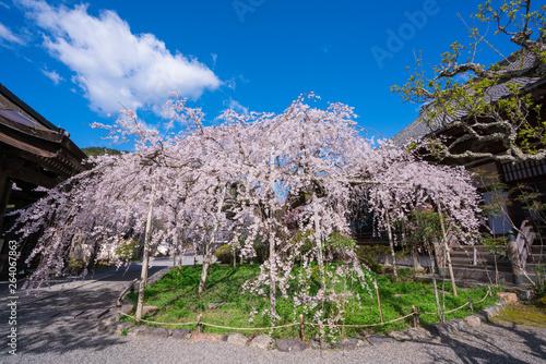 京都 毘沙門堂の桜 Wallpaper Mural