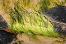 String Algae- Fibrous Green St...