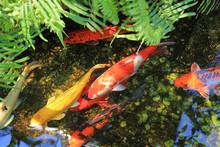 Koi Fish Swimming In Pond.