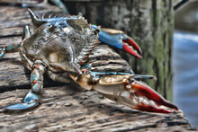 A Live Crab Looks Out At The O...