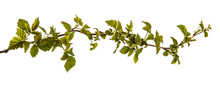 Raspberry Bush With Young Green Leaves. Isolated On White Background