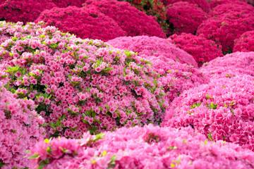 Ružičasta azaleja cvijeće u japanskom vrtu Tsutsuji cvijeće u japanskom vrtu