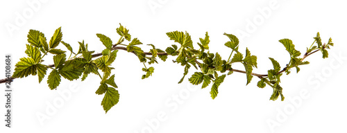Canvas-taulu raspberry bush with young green leaves