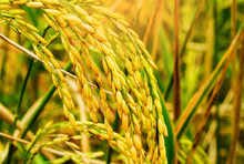 Close Up Of Golden Ear Of Rice...
