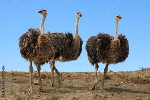 Fotobehang Struisvogel Straußen Trio