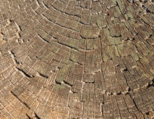Wood Cross Section Texture