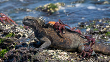 Marine Iguanas Are Sitting On The Stones Together With Crabs. The Galapagos Islands. Pacific Ocean. Ecuador
