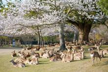 桜と鹿の群れ 奈良県...