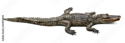 Fotomural Wildlife crocodile isolated on white background with clipping path
