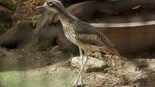 Bush Thick Knee Bird Remaining...