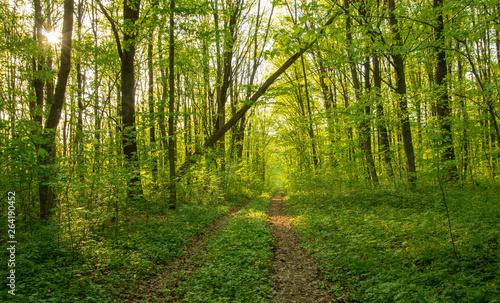 Foto op Plexiglas Groene Forest trees. nature green wood sunlight backgrounds