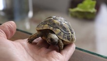 Close Up View Of Woman Hand Holding A Small Turtle